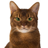 Abyssinian sorrel  cat. Abyssinian sorrel domestic cat isolated Stock Photography