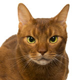 Abyssinian sorrel domestic cat isolated. On white Royalty Free Stock Photography