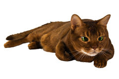 Abyssinian sorrel domestic cat isolated. On white Stock Images