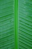 abyssinian ventricosum för bananensetemusaceae Royaltyfria Bilder