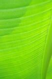 abyssinian ventricosum för bananensetemusaceae Arkivfoto