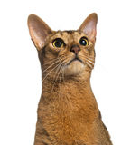 Abyssinian (2 years old), isolated Royalty Free Stock Photos