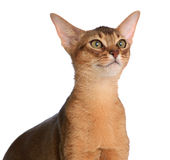Abyssinian young cat isolated on white background Royalty Free Stock Image