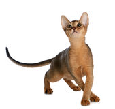 Abyssinian young cat isolated on white background