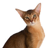 Abyssinian young cat isolated on white background Royalty Free Stock Photography