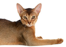 Abyssinian young cat isolated on white background Stock Photography