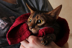 Abyssiniankat nat in rode handdoek in de handen van de meester Stock Foto's
