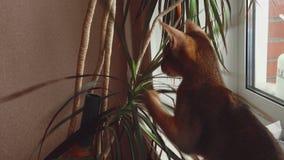 Abyssiniankatje het spelen stock videobeelden
