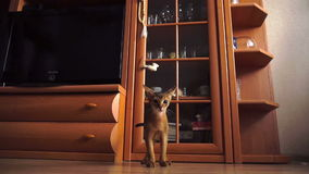 Abyssiniankatje het spelen stock video