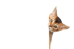Abyssinien Kitty sur le fond blanc d'isolement photo stock