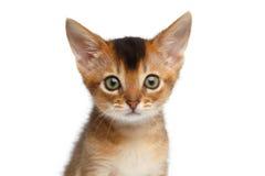 Abyssinien mignon Kitty de portrait de plan rapproché sur le fond blanc d'isolement photographie stock libre de droits