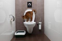 Abyssinier Cat Sits auf Toilette Schüssel und dem neugierigen Schauen Stockfoto
