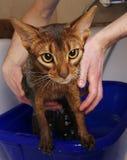 Abyssinische badende Katze Stockfoto