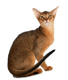 Abyssinische junge Katze lokalisiert auf weißem Hintergrund Lizenzfreie Stockfotos