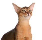 Abyssinische junge Katze lokalisiert auf weißem Hintergrund Lizenzfreies Stockbild