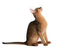 Abyssinische junge Katze lokalisiert auf weißem Hintergrund Stockbild