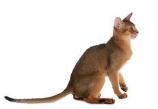 Abyssinische junge Katze lokalisiert auf weißem Hintergrund Stockfoto
