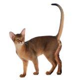 Abyssinische junge Katze lokalisiert auf weißem Hintergrund Stockbilder