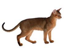 Abyssinische junge Katze lokalisiert auf weißem Hintergrund Lizenzfreies Stockfoto