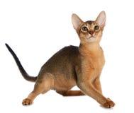 Abyssinische junge Katze lokalisiert auf weißem Hintergrund Lizenzfreie Stockbilder