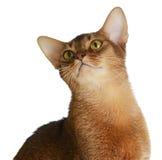 Abyssinische junge Katze lokalisiert auf weißem Hintergrund Lizenzfreie Stockfotografie