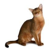 Abyssinische junge Katze lokalisiert auf weißem Hintergrund Stockfotografie