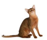 Abyssinische junge Katze lokalisiert auf weißem Hintergrund Stockfotos
