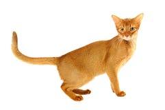 Abyssinische Katze Stockfoto