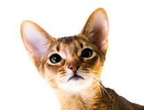 Abyssinische Katze Lizenzfreies Stockbild