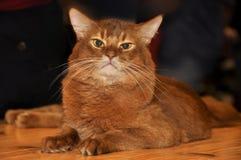 Abyssinische Katze Lizenzfreie Stockfotografie