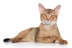 Abyssinische Katze Stockbilder