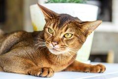 Abyssinische Katze Lizenzfreie Stockbilder
