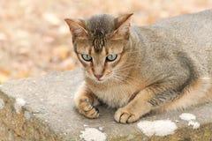 Abyssinische Katze auf einer Bank Stockbild