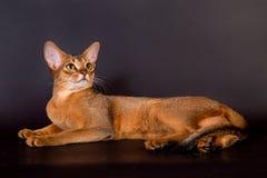 Abyssinische Katze auf schwarzem Hintergrund Lizenzfreies Stockfoto