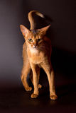 Abyssinische Katze auf schwarzem Hintergrund Lizenzfreie Stockfotos