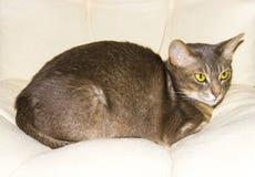 Abyssinische Katze auf Stuhlkissen, Symbol des Komforts Stockfotos