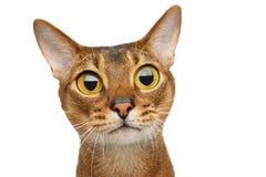 Abyssinische Katze auf Weiß Stockbild