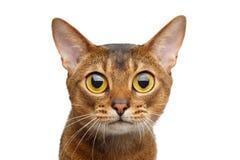 Abyssinische Katze auf Weiß Lizenzfreie Stockfotos