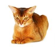 Abyssinische Katze auf weißem Hintergrund Lizenzfreies Stockfoto