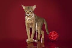 Abyssinische Katze in den weißen Perlen spielt mit einem Ball auf einem roten Hintergrund Lizenzfreie Stockbilder