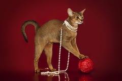 Abyssinische Katze in den weißen Perlen spielt mit einem Ball auf einem roten Hintergrund Stockfotos