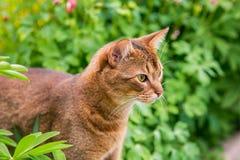 Abyssinische Katze in der Natur Lizenzfreie Stockbilder