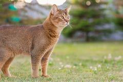 Abyssinische Katze in der Natur/im Porträt Stockfotografie