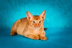 Abyssinische Katze des Sauerampfers auf dunkelgrünem Hintergrund Lizenzfreies Stockfoto