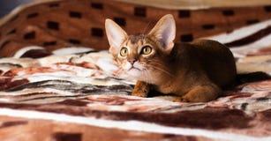 Abyssinische Katze, die auf dem Bett, ein Spielzeug jagend liegt Lizenzfreie Stockfotos
