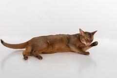 Abyssinische Katze, die auf dem Boden liegt und Bein leckt Getrennt auf weißem Hintergrund Lizenzfreies Stockfoto