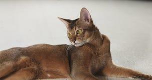 Abyssinische Katze, die auf dem Boden schaut zur Kamera liegt Lizenzfreies Stockfoto
