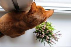 Abyssinische Katze, die auf dem Fensterbrett mit Heide sitzt Stockfotografie