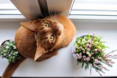 Abyssinische Katze, die auf dem Fensterbrett mit Heide und succul sitzt Lizenzfreies Stockfoto