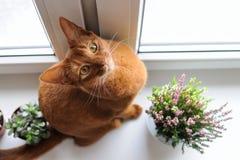 Abyssinische Katze, die auf dem Fensterbrett mit Heide und succul sitzt Stockfoto